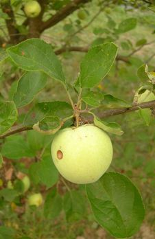 Free An Apple On A Branch. Royalty Free Stock Photo - 15500045