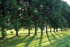 Free Trees On A Sunset Royalty Free Stock Images - 15500119