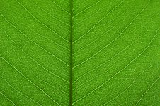 Free Transparent Green Leaf Texture Stock Image - 15500501