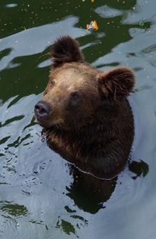 Free A Black Bear Stock Photography - 15501262