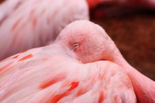 Free Flamingo Stock Photos - 15501473