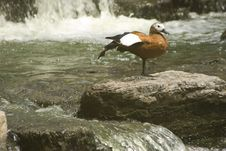Free A Wild Duck Is Giving A Stretch Royalty Free Stock Photography - 15501577