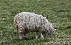 Free Highland Sheep Stock Photo - 15502050