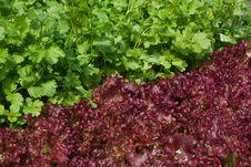 Free Lettuce And Coriander Stock Photos - 15502463