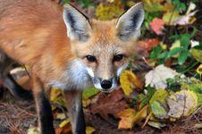 Free Fox Close-up Stock Photography - 15502842