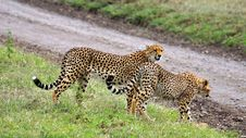 Free Two Cheetahs In Serengeti National Park Royalty Free Stock Images - 15503529