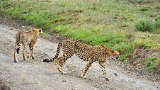Free Two Cheetahs In Serengeti National Park Royalty Free Stock Image - 15503546