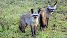 Free A Pair Of Bat-Eared Foxes Stock Photos - 15503583