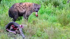 Free Hyena Kill Stock Photography - 15503632