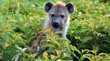 Free Hyena In The Bushes Stock Photos - 15503653