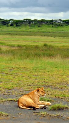 Lioness In Serengeti National Park Royalty Free Stock Photo