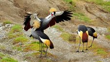 Free Gray Crowned Cranes Stock Images - 15503704
