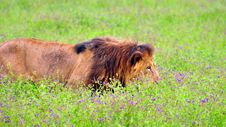 Male Lion Walking Through A Flowerbed Royalty Free Stock Photos