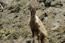 Free Barbary Sheep On A Hunt Stock Images - 15503814