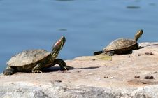 Free Red Eared Slider Turtles Royalty Free Stock Images - 15503859