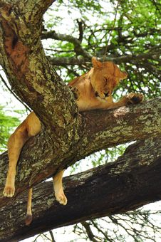 Lioness In A Tree In Serengeti National Park Stock Images