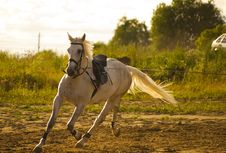 Free White Horse Royalty Free Stock Images - 15504089