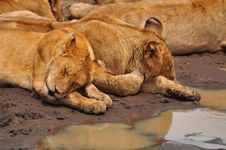 Free Lion Cubs In Serengeti National Park Stock Image - 15504111