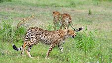 Free Two Cheetahs In Serengeti National Park Royalty Free Stock Photography - 15504187
