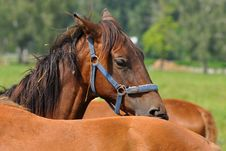 Free Beautiful Rascal Horse Royalty Free Stock Images - 15504219