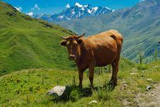 Free Cow Stock Photos - 15504263