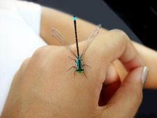 Small Dragonfly On Hand Royalty Free Stock Images