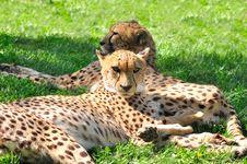 Free Cheetahs. Royalty Free Stock Images - 15505359