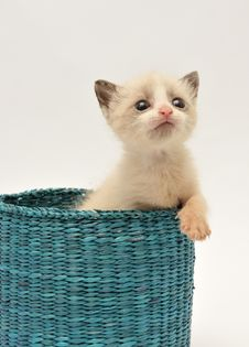 Free Curious Beije Kitten Royalty Free Stock Image - 15505766