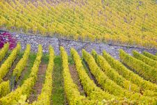 Free Vineyards In Germany Royalty Free Stock Image - 15506066