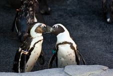 Free Kissing Penguins Royalty Free Stock Photo - 15506635