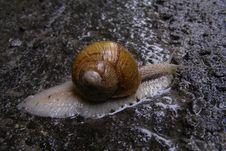 Free Big Snail On The Asphalt In The Rain Stock Photos - 15506863