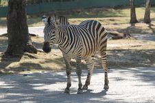 Free The Zebra Stock Photography - 15507722