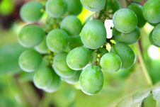 Free Green Vine Royalty Free Stock Images - 15507849