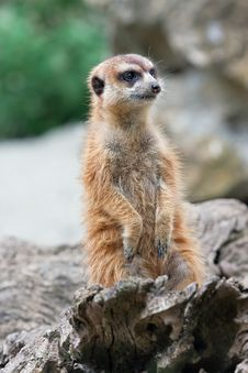 Free Meerkat (Suricata Suricatta) Stock Photo - 15507890