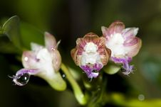 Free Orchid Stock Photos - 15508183