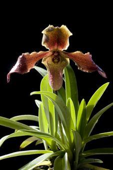 Free Orchid Paphiopedilum Stock Images - 15508464