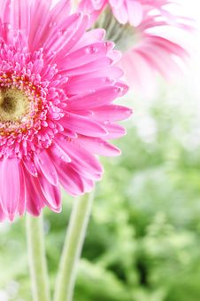 Free Fresh Pink Daisy Royalty Free Stock Photo - 15508615