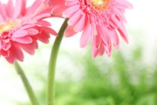 Free Fresh Pink Daisy Stock Photo - 15508700