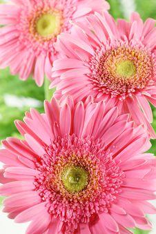 Free Fresh Pink Daisy Stock Image - 15508721