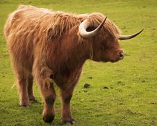 Strong Highland Bull Stock Photography