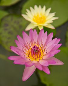 Pink Waterlily And Bee Royalty Free Stock Photography