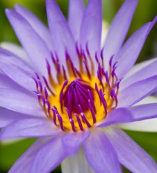 Free Purple Waterlily Royalty Free Stock Images - 15510659