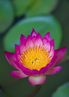 Free Pink Waterlily Royalty Free Stock Image - 15510736