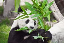 Free Giant Panda Royalty Free Stock Images - 15511069