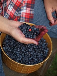 Selecting Leaves With Berries Stock Photos