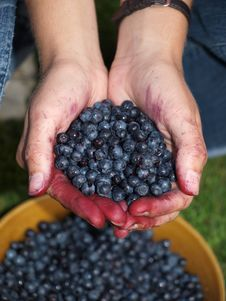 Selecting Leaves With Berries Stock Image