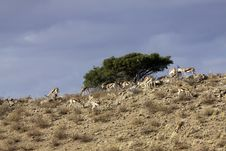 Free Springbok In The Kalahari Stock Photography - 15511892