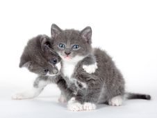 Free Two Blue Eyed Gray Kitten Isolated Royalty Free Stock Image - 15513066