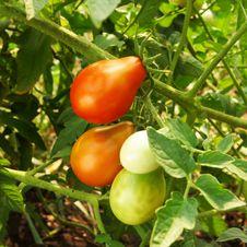 Free Tomato Stock Image - 15513111