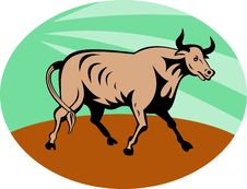 Free Raging Texas Longhorn Bull Royalty Free Stock Image - 15513496